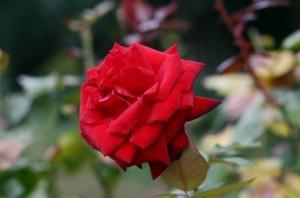 バラの花28