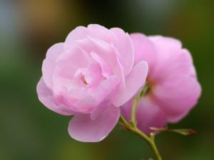 バラの花53