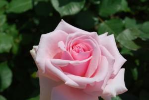 バラの花31